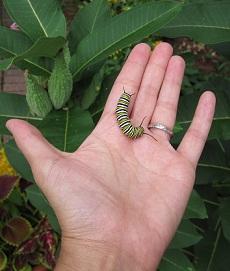 Caterpillar in hand.