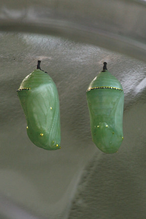Jade and gold chrysalis