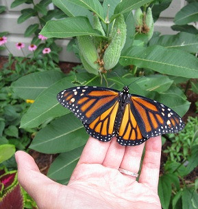 Monarch and milkweed.