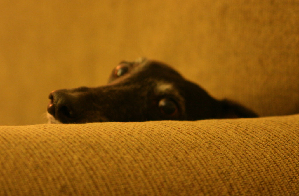 Unlike most dogs, greyhounds are at ease looking you right in the eye. We would often catch Valentina just staring at us.