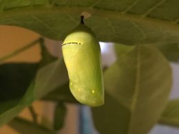 jade green monarch butterfly chrysalis